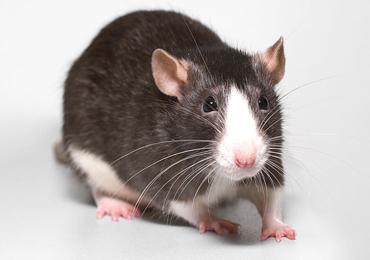 Patkány tenyészet